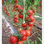 Proprietà nutrizionali del pomodoro