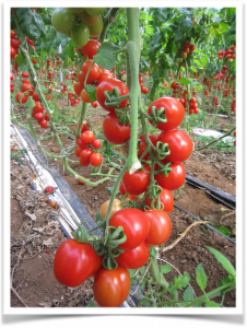 I benefici del pomodoro
